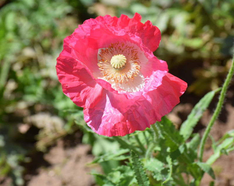 Poppy30a