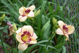 Lilies23b