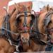 Wagon horses