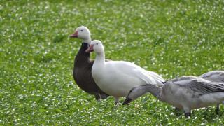 Goose27G