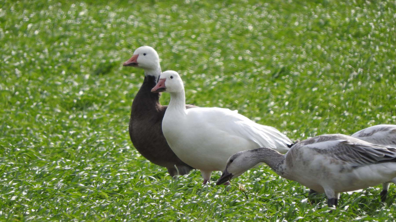 Geese27G5
