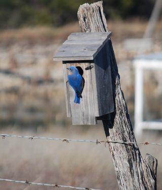 BluebirdMar29b