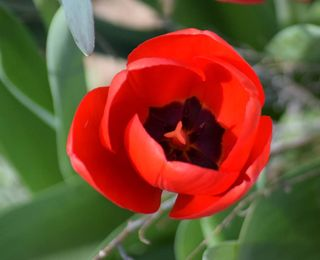 TulipMar26a