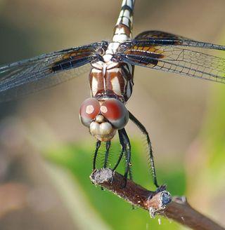 DragonflyJun10a