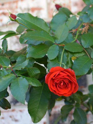 RoseDec17