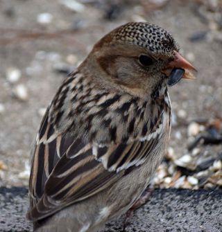 SparrowJan24face2