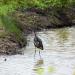 heron August