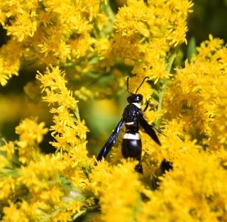 WaspOct