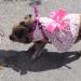 Pig in a dress