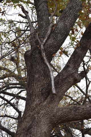 Treelimb