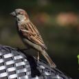Sparrow30