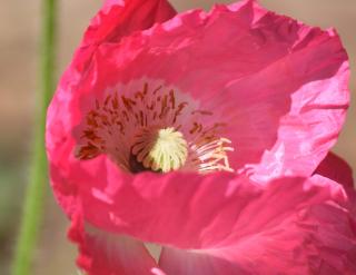 Poppy30b