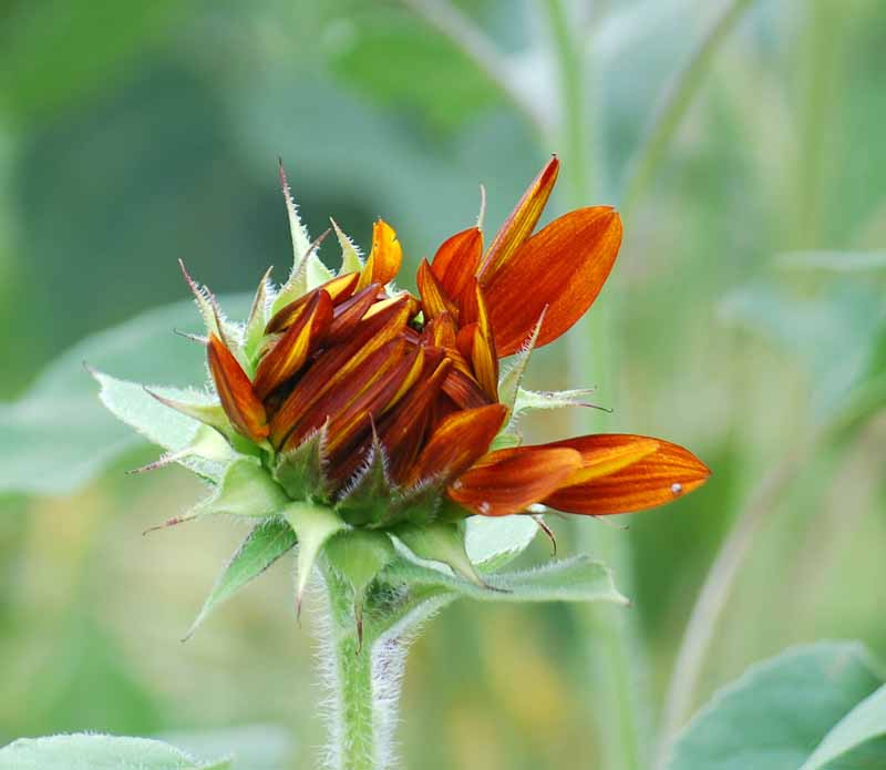 SunflowerbudJun7