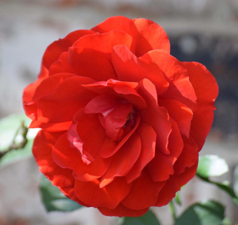 Rose5best