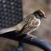 Sparrow on chair