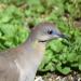 Dove eye