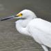 Egret face