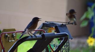Bluebirds2b