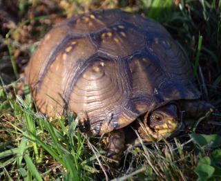 Tortoise1c
