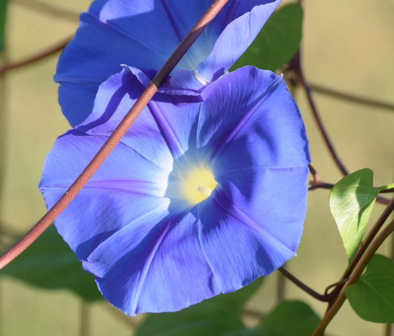 Bluemorn20a