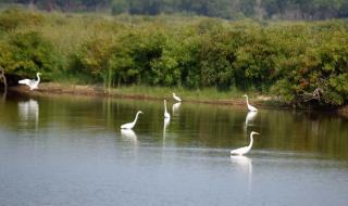 Egrets21M