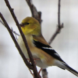 Goldfinch19c
