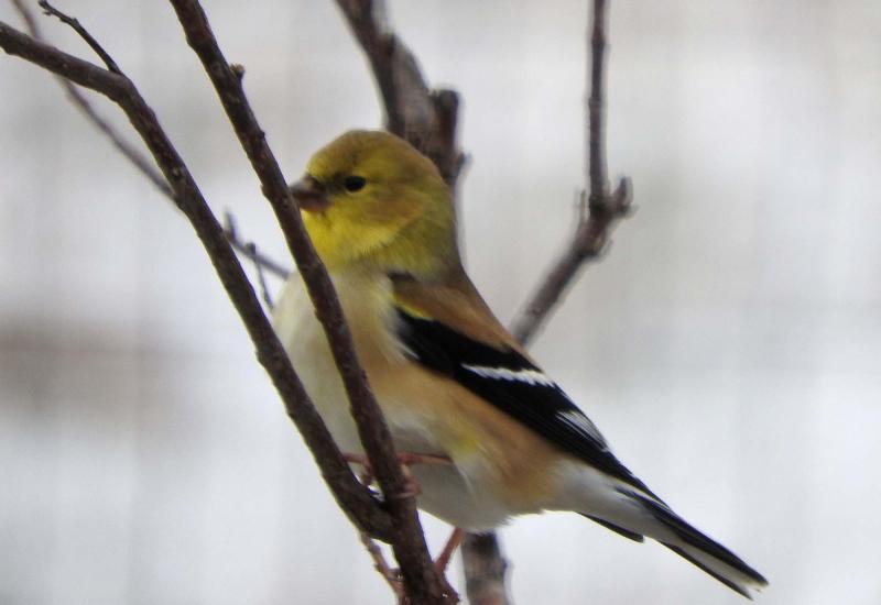 Goldfinch19c