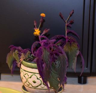 Purple2a
