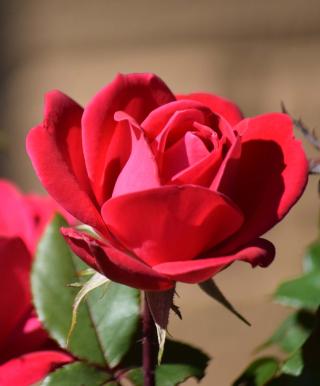 Rose27d