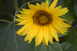 Sunflower20a