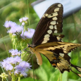 Swaltail6i