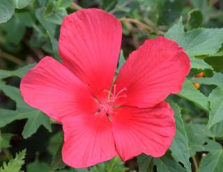 Hibiscus11