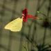 Cardinal Creeper vine