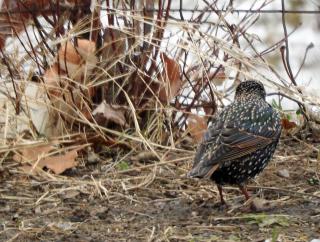 Starlings19e