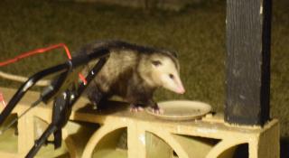 Possum19