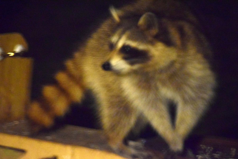 Raccoon22c