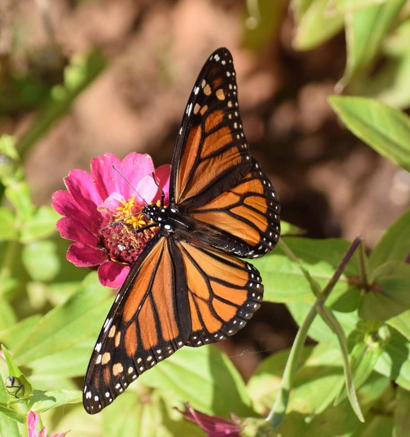 Monarch27best_edited-1