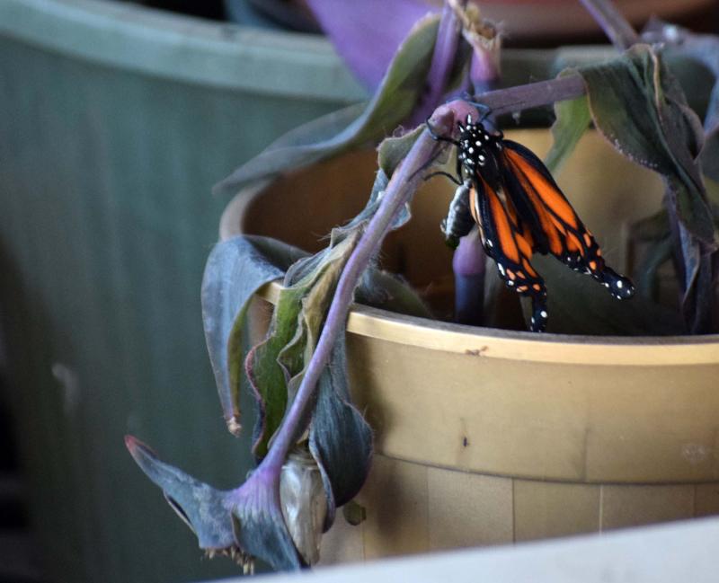 Monarch23