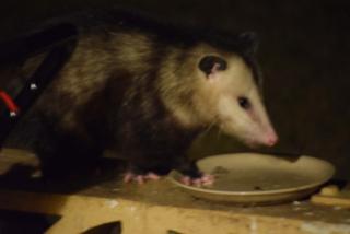 Possum19b