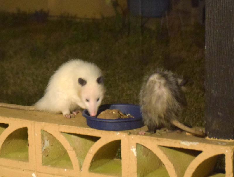 Possums21