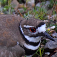 Killdeer11d_edited-1