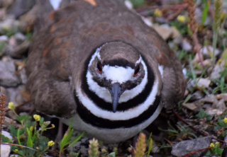 Killdeer11e