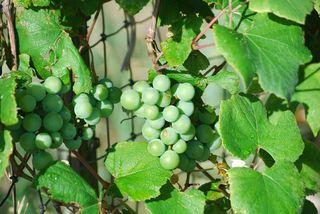 GrapesJun13