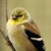 Finch face
