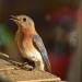 Bluebird on window sill