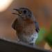Bluebird at window