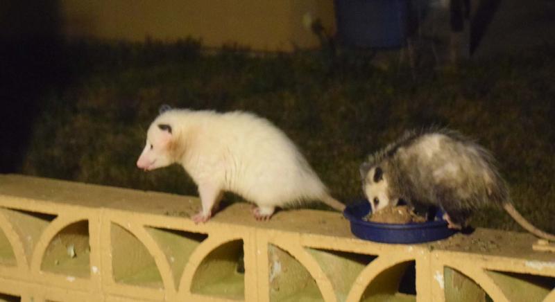 Possums21b