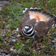 Killdeer11more