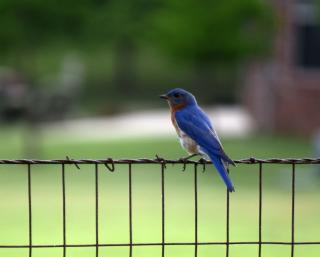 Bluebird26a