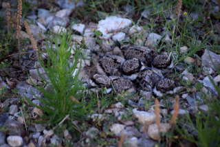 Killdeer9chicks
